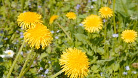 Yellow dandelions close up shot. stock footage