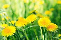 Yellow Dandelions Stock Image