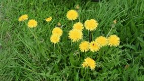 Yellow dandelions cutting by grass trimmer stock video footage