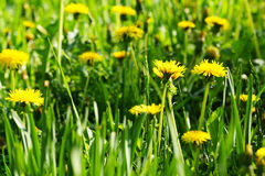 Yellow dandelions. Royalty Free Stock Photography