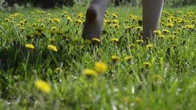 Yellow dandelions field. Fresh yellow dandelions on sunny meadow with barefoot woman legs walking through stock footage