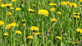 Yellow dandelions field stock video