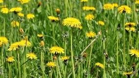 Yellow dandelions field stock video