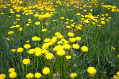 Yellow dandelions on field in summer closeup Royalty Free Stock Photos