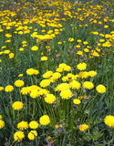 Yellow dandelions on field in summer closeup Royalty Free Stock Images