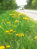 Yellow dandelions. Flowers of the yellow dandelion on the roadside Stock Photos
