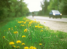 Yellow dandelions. Flowers of the yellow dandelion on the roadside Royalty Free Stock Image