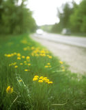 Yellow dandelions. Flowers of the yellow dandelion on the roadside Stock Images