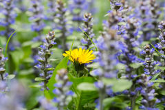 Yellow dandelions in the grass and flowers of thyme. Royalty Free Stock Images