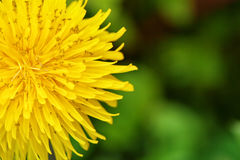 Yellow dandelions in the grass in the forest. Close-up. Spring photo Stock Images