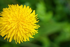 Yellow dandelions in the grass in the forest. Close-up. Spring photo Stock Photos