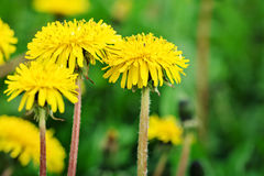 Yellow dandelions in the grass in the forest. Spring photo Stock Image