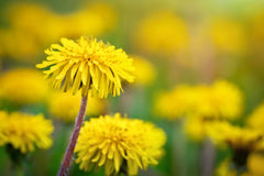 Yellow dandelions in the grass in the forest. Spring photo Royalty Free Stock Photo