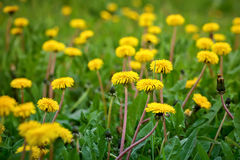 Yellow dandelions in the grass in the forest. Spring photo Royalty Free Stock Images