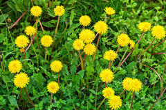 Yellow dandelions in the grass in the forest. Spring photo Stock Images