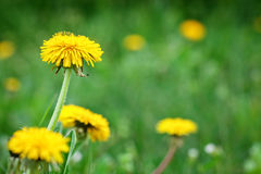 Yellow dandelions in the grass in the forest. Spring photo Royalty Free Stock Photography
