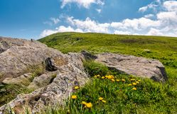 Yellow dandelions on a grassy hillside. Yellow dandelions on a grassy hille. giant boulders on the grassy slope of Polonina Runa mountain ridge in summer Royalty Free Stock Photography