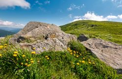 Yellow dandelions on a grassy hillside. Yellow dandelions on a grassy hille. giant boulders on the grassy slope of Polonina Runa mountain ridge in summer Stock Image