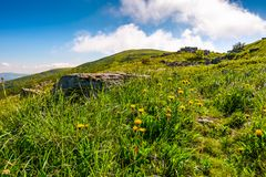 Yellow dandelions on the grassy slope. Lovely nature scenery on a summer day in fine weather Royalty Free Stock Images