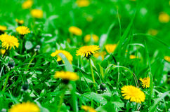Yellow dandelions on the green field Stock Photos