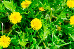 Yellow dandelions on the green field Stock Image