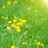 Yellow dandelions on the green field Stock Photography