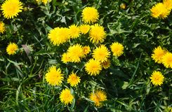 Yellow dandelions on green field royalty free stock photo