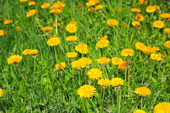 Yellow dandelions. On the green grass Royalty Free Stock Photos