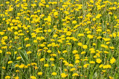 Yellow dandelions on green grass Royalty Free Stock Photo