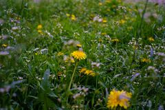 Yellow dandelions in green grass close up on a field in spring day royalty free stock photography