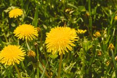 yellow dandelions among green grass. close up view stock image
