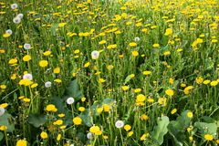 Yellow dandelions on green grass close up stock photo
