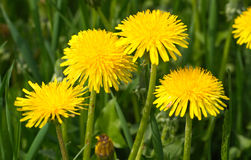 Yellow dandelions in green grass closeup Royalty Free Stock Photography