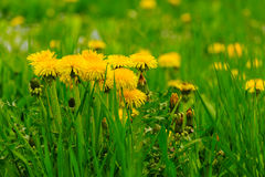 Yellow dandelions in a green grass Stock Photos