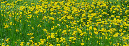 Yellow dandelions in the green grass Royalty Free Stock Images