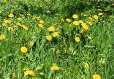 Yellow dandelions in the green grass. Flowers yellow dandelion in the green grass on a sunny summer day Royalty Free Stock Photos