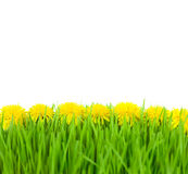 Yellow Dandelions in Green Grass on White Back Stock Image