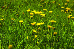 Yellow dandelions Royalty Free Stock Photography