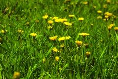 Yellow dandelions royalty free stock photography