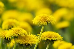 Yellow dandelions on green meadow 9 Stock Photography