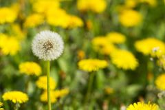 Yellow dandelions on green meadow 2 Royalty Free Stock Images