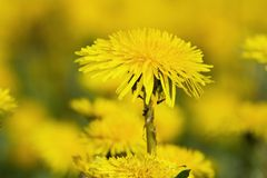 Yellow dandelions on green meadow  Royalty Free Stock Photography