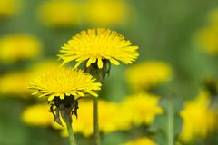 Yellow dandelions on green meadow  Royalty Free Stock Image