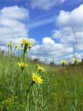 Yellow dandelions on green meadow  Stock Photography