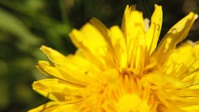 Yellow dandelions on green meadow in springtime. Beautiful yellow dandelion blossoms. Blossoming Dandelion Taraxacum. Yellow dandelion on green meadow in stock video