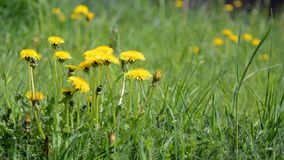 Yellow dandelions on a green meadow stock footage