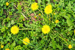 Yellow dandelions on a green spring meadow, top view close-up Stock Photography