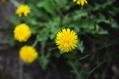 Yellow dandelions grow on a field in summer royalty free stock images