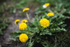 Yellow dandelions grow on a field in summer. Close-up stock photo