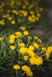 Yellow dandelions grow on a field in summer stock image